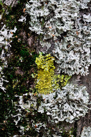 Yellow lichen or moss Cetraria pinastri on the tree. Highly detailed fungus in the outdoors forest. Bizzare botany. Mold macro growing on the wood bark. Texture.