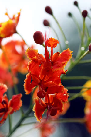 Caesalpinia Pulcherrima flower. Mexican Red Bird of Paradise or Poinciana, Peacock Flower and Pride of Barbados plant.