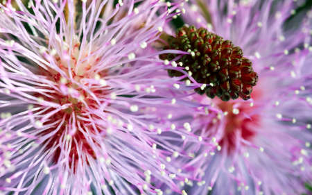 Striking macro flower closeup of Mimosa pudica or Mimosa pigra sensitive plant, also known as Shameplant, Sleepy plant.