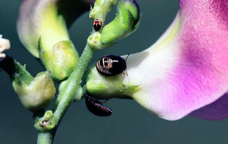 Insect family of bugs walking on flower blossoms close-up. Stockfoto