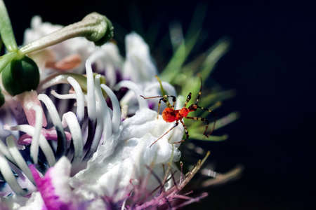 Weird insect on flowering passion flower blossoms close-up. Swamp or river wild passiflora or passion vines and a bug.