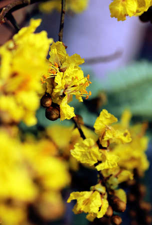 Peltophorum pterocarpum, known as copperpod, yellow-flamboyant, flametree, yellow poinciana flower blossoms close-up.