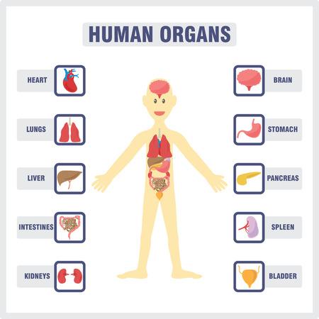 Du corps humain et les organes internes
