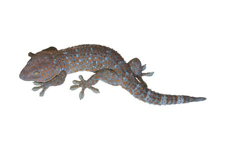 tokay gecko: Tokay Gecko on isolated.