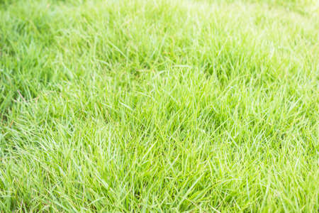 green background: Green lawn for background