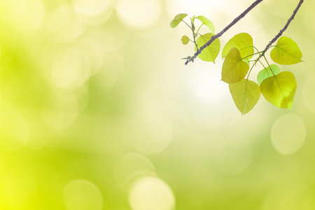 peepal: Bo leaves green leaves In spring or Beautiful in blurred nature over sunset or background.art design light branch color sun.Beautiful leaves over blurred nature over golden tree concept.