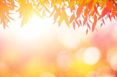 peepal: leaves red In spring or Beautiful in blurred nature over sunset or background.art design light branch color sun.Beautiful leaves over blurred nature over golden tree chistmas concept.
