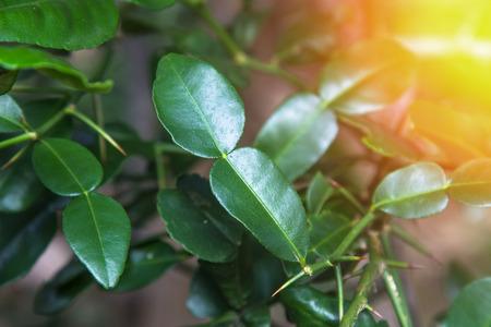 Green leaves ,Lime leaves.
