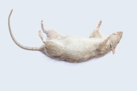 白い背景の上の死んだネズミ。 写真素材