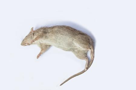 Dead rat on white background.