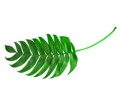 Tropical palm leaf isorated. Top view.