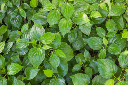 Green Herb Betel Leaf bush or piper is the leaf of a vine belonging to the piperaceae family, which includes pepper and kava. Famous herb in Thailand call Chaplu.