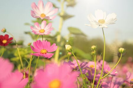 Beautiful Pink and White Cosmos flowers or daisy under sunlight in garden with blue sky background in Vintage color tone style or pastel retro, selective focus. Daisy under sunlight morning.