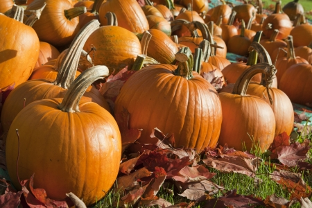 pumpkin patch: Field of ripe pumpkins amidst fallen leaves on a sunny day. Horizontal shot. Stock Photo