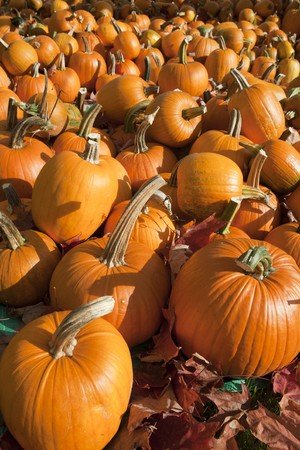 Field of ripe pumpkins amidst fallen leaves on a sunny day. Horizontal shot. Stock Photo - 7476246