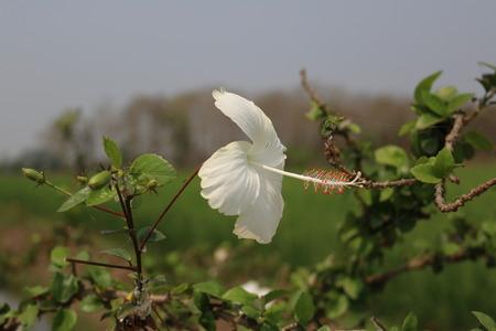 uncommon: White hibiscus flower Uncommon