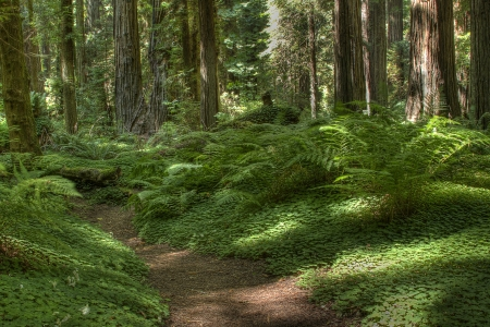 Path through redwood forest in Northern California  photo