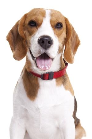 Beagle isolated on white photo