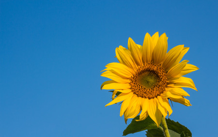Mooie zonnebloem op blauwe hemel achtergrond