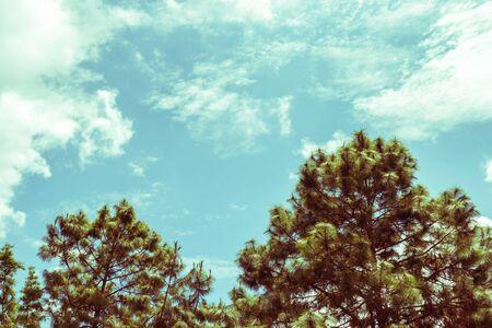 unruffled: pine and blue sky, vintage toning Stock Photo