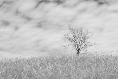 unruffled: dry tree on the field and sky on black and white background