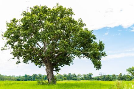 unruffled: tree on the field and sky