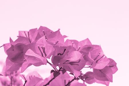 color bougainvillea: selective focus of   purple Bougainvillea flowers with filter color