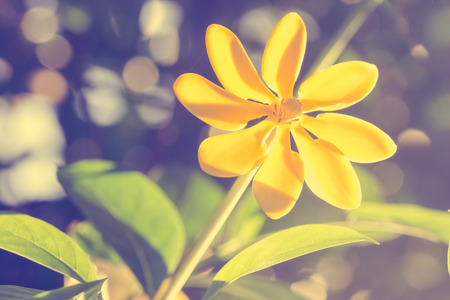 lambent: selective focus of  yellow flowers  in the field,vintage toning Stock Photo