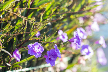 lucid: selective focus of  ruellias flower in garden with sunlight in the morning Stock Photo