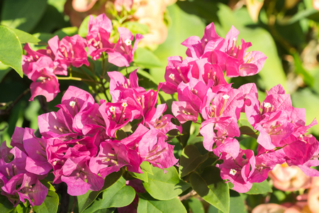 lambent: selective focus of   Bougainvillea flowers in the morning Stock Photo