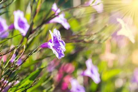 lambent: selective focus of  ruellias flower in garden with sunlight in the morning Stock Photo