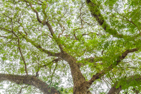 unruffled: tree branch of green leaves on a big tree, nature background