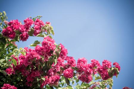 color bougainvillea: selective focus of    Bougainvillea flowers with filter color
