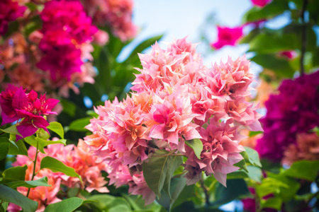 lambent: selective focus of    Bougainvillea flowers with filter color