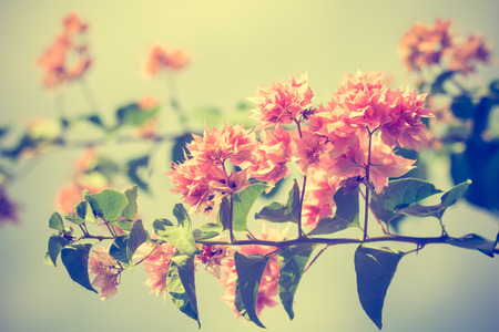 lambent: selective focus of    Bougainvillea flowers with filter color,vintage toning