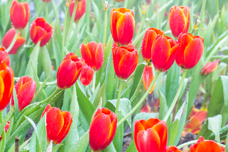 placid water: selective focus of colorful tulip flowers with sun light ,selective focus Stock Photo