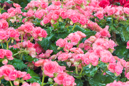 lucid: selective focus of colorful begonia flowers with water spray ,selective focus