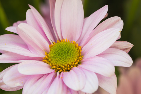 placid water: selective focus of colorful Chrysanthemum flowers with water spray ,selective focus