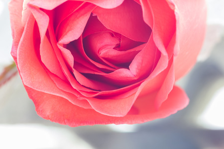lucid: close up  of fresh roses,selective focus