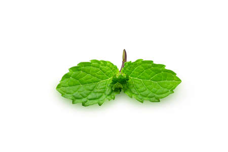 Organic raw mint leaves or menthol on white isolated background   . Fresh mint or peppermint have good smell and aromatic for cooking and beverage. Herb for food and drink concept.