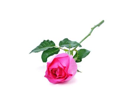 Pink rose isolated on white Standard-Bild