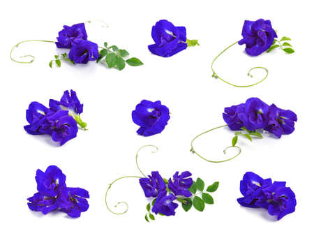 Butterfly Pea isolated on white background Standard-Bild - 160643389