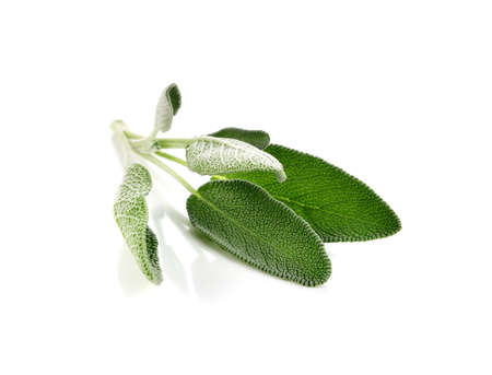 Sage leaves isolated on white background.