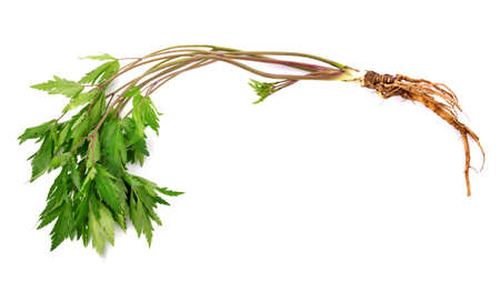 Fresh Ginseng Root and leaves on white background