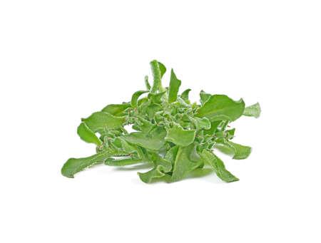 ice plant vegetable green leaf isolated on white background. Standard-Bild