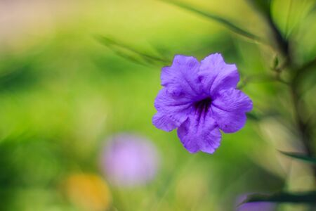 Close up beautiful purple brittoniana ruellia blossom flower blooming in the garden with bokeh and green garden Stock Photo