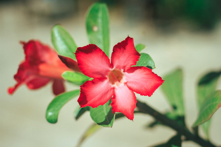 Close up beautiful fresh red of blossoming Desert Rose or Impala Lily or Mock Azalea flowers blooming in the garden
