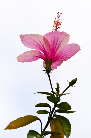 flower beds: Chaba or hibiscus, Flower of Thailand Stock Photo