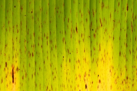 banana leaf green floral natural background photo