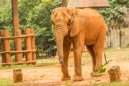 An asian elephant at the zoo.